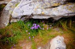 Bellflower e rocce alpini nelle montagne carpatiche Fotografia Stock