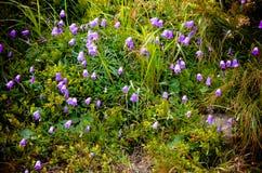 Bellflower e rocce alpini nelle montagne carpatiche Immagini Stock Libere da Diritti