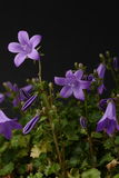 Bellflower em um prado Foto de Stock