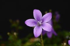 Bellflower em um prado Foto de Stock Royalty Free