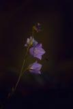Bellflower en la puesta del sol Imagen de archivo libre de regalías
