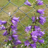 Bellflower in fence Stock Photo