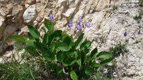 Bellflower. Flowering alpine Bellflower (Campanula Scheuchzeri) on the rocks Stock Photo