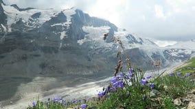 Bellflower in front of Grossglocker mountain in european alps, Austria. stock video