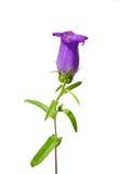 Bellflower (het middel van het Klokje) royalty-vrije stock afbeeldingen