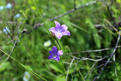 Bellflower. The image of a bellflower on a background of green grass Royalty Free Stock Photos