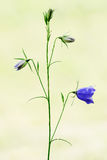 Bellflower isolated in nature Royalty Free Stock Photos