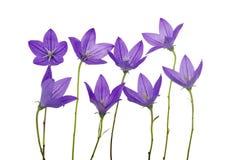 Bellflower stock image