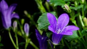 Bellflower (kampanula) Zdjęcie Royalty Free