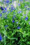 Bellflower; Kampanuli persicifolia na lato łące obrazy royalty free