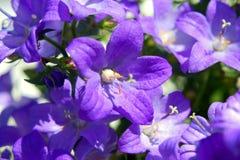 Bellflower, Klokjeportenschlagiana Stock Foto's