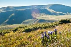 Bellflower kwitnie na zboczach Karpackie góry Zdjęcia Stock