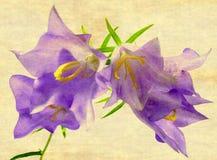 Bellflower Stock Images