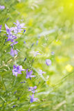 Bellflower on the meadow Stock Photography