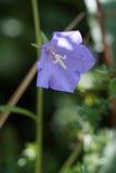 bellflower Melocotón-con hojas (persicifolia de la campánula) Imágenes de archivo libres de regalías