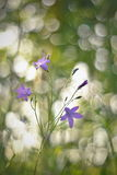 Bellflower in the morning light. Typical meadow flower blossom close up Stock Image
