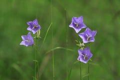 Bellflower Pêssego-com folhas Foto de Stock