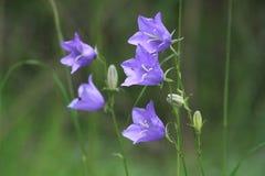 Bellflower Pêssego-com folhas Foto de Stock Royalty Free
