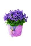 Bellflower púrpura hermoso del dalmatian de la flor de la primavera Fotografía de archivo