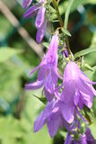 Bellflower, strisciante (rapunculoides della campanula) Fotografia Stock