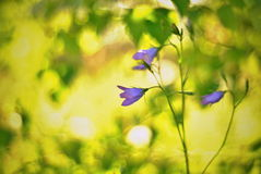 Bellflower at sunset Royalty Free Stock Photography