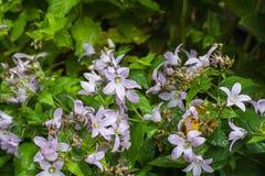 Bellflower violeta Foto de archivo