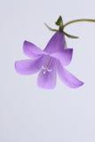 Bellflower w łące Zdjęcie Stock