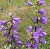 Bellflower w ogrodzeniu zdjęcie stock