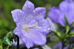 BELLFLOWER WITH WATER DROP Royalty Free Stock Photos