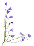 Bellflowers Stock Photos