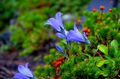 Bellflowers Obraz Royalty Free