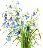 bellflowers Obrazy Royalty Free