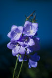 Bellflowers Royalty Free Stock Image