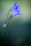 Bellflowers Zdjęcie Stock