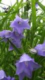 Bellflowers após a chuva Imagem de Stock