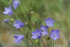 Bellflowers azuis de florescência bonitos no fundo verde do borrão Imagem de Stock Royalty Free