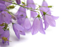 Bellflowers Royalty Free Stock Photo