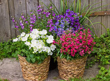 Bellflowers and Campanula as a colorful garden decoration. Bellflowers and Campanula as a colorful garden decoration, makes beautiful accents in the summer time Stock Images