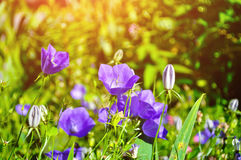 Bellflowers Campanula carpatica in the meadow in summer sunny day Royalty Free Stock Photos