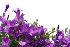 Bellflowers dalmata porpora isolati su bianco Immagini Stock