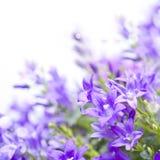 Bellflowers do Campanula no fundo branco imagens de stock