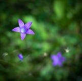 Bellflowers en la hierba Imagenes de archivo
