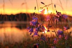 Bellflowers en a orillas del lago en el amanecer Foto de archivo libre de regalías