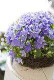 Bellflowers in flowershop. Bellflowers or campanula in flower shop decoration Stock Photo