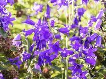 Bellflowers gigantes, latifolia de la camp?nula, floreciendo en el jard?n fotos de archivo