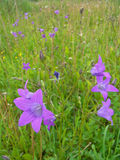 Bellflowers in the grass Stock Images