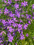 Bellflowers in the grass Stock Photography