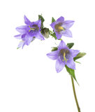 Bellflowers isolated on white background Royalty Free Stock Photography