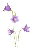 Bellflowers Stock Photo