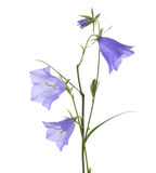 Bellflowers isolated on white. Campanula rotundifolia Stock Images